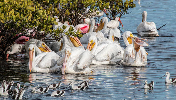 Photograph - White Pelicans And Others by Dorothy Cunningham