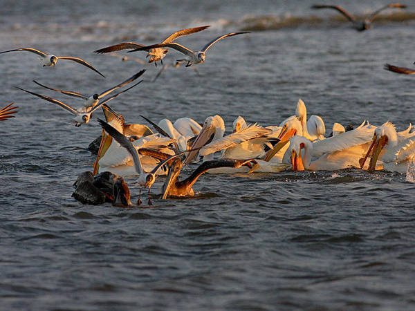 Photograph - White Pelicans Feeding by Charles McKelroy