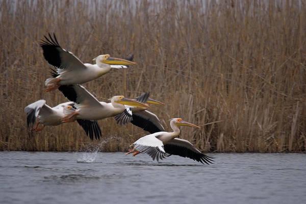 White Pelicans In Flight Over Lake Art Print
