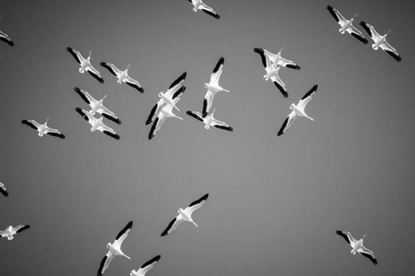 Wall Art - Photograph - White Pelicans In The Winter Sky - Black And White - Texas by Ellie Teramoto