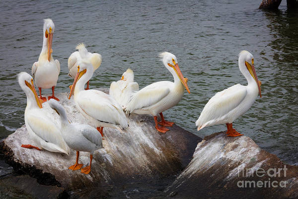 Wall Art - Photograph - White Pelicans by Inge Johnsson
