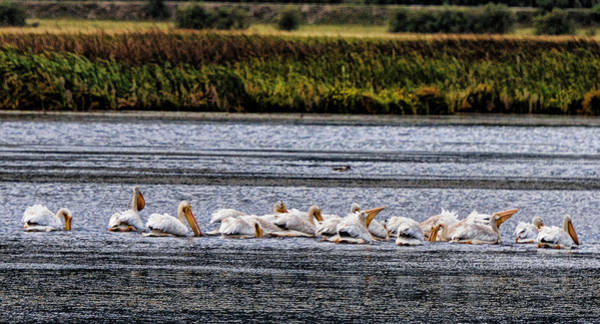 Photograph - White Pelicans Kootenay Lake by Lawrence Christopher