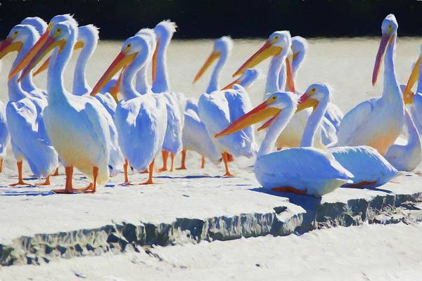 Photograph - White Pelicans On A Sandbar by Alice Gipson