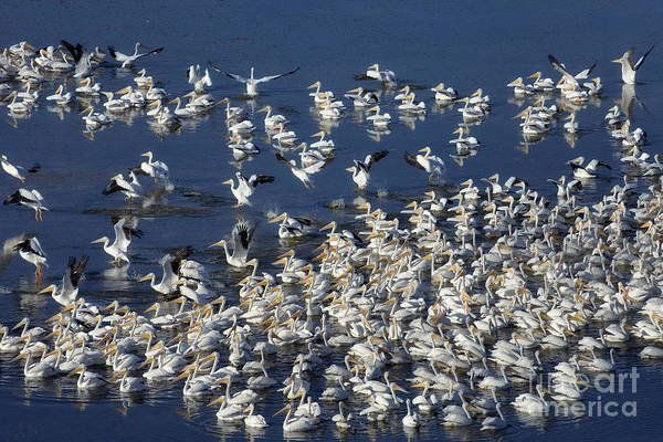 Photograph - White Pelicans On Blue 2 by Patrick M Lynch