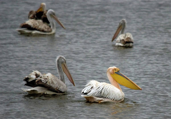 White Pelicans On Lake  Art Print