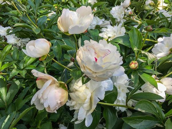 White Peonies In North Carolina Art Print