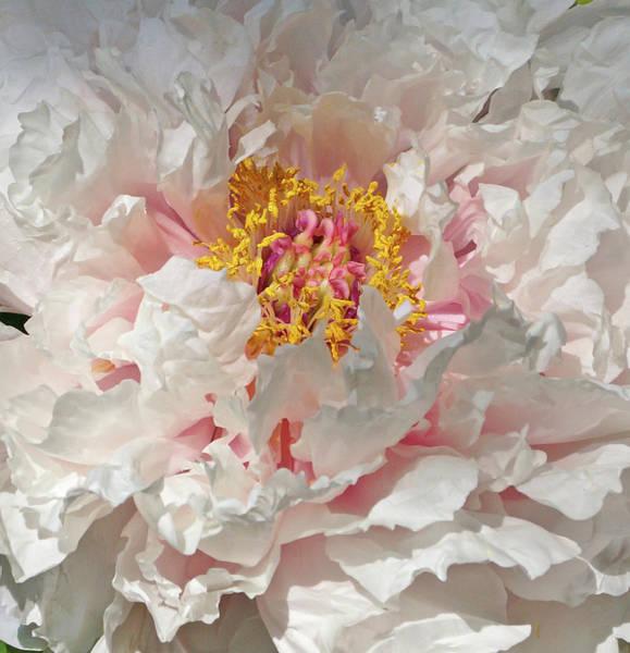 Photograph - White Peony by Sandy Keeton
