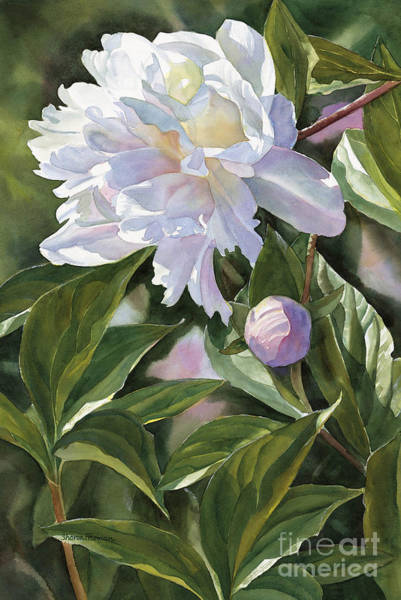 Freeman Wall Art - Painting - White Peony With Bud by Sharon Freeman
