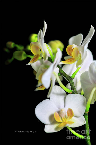 Photograph - White Phalaenopsis Orchid by Richard J Thompson