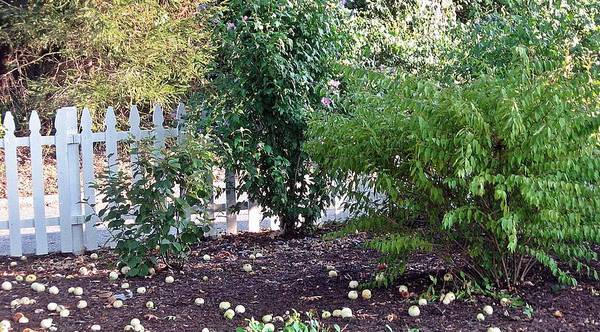 Wall Art - Photograph - White Picket Fence And Apples On Ground At Mohegan Lake Ny by Toni Roberts