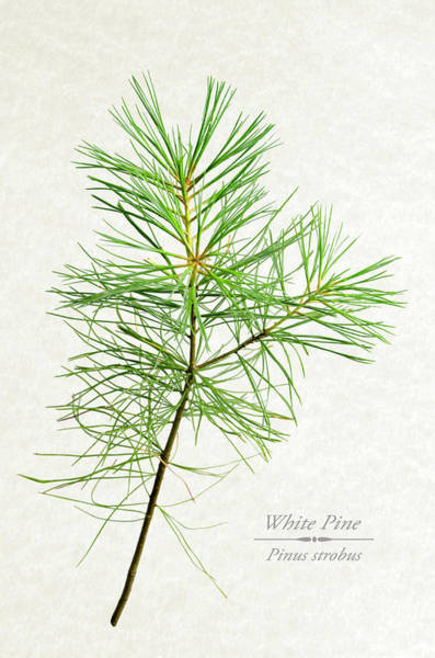 Native Mixed Media - White Pine by Christina Rollo