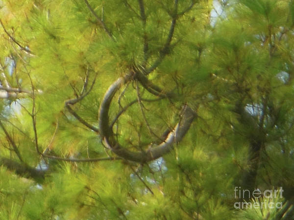 Photograph - White Pine Horseshoe Branch by Rockin Docks Deluxephotos