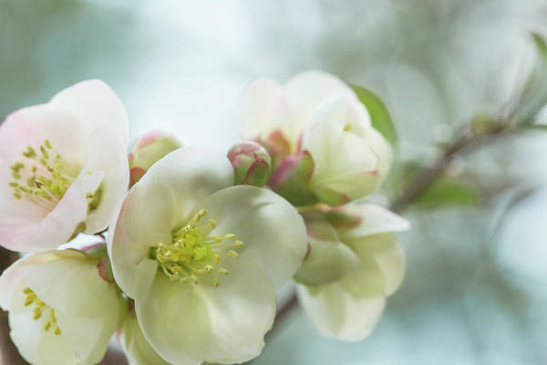 Wall Art - Photograph - White Pink Quince Blossom Branch by Iris Richardson