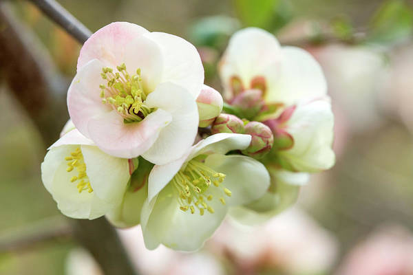 Wall Art - Photograph - White Pink Quince Blossom  by Iris Richardson