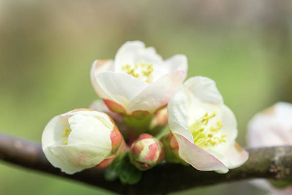 Wall Art - Photograph - White Pink Quince Flowers by Iris Richardson