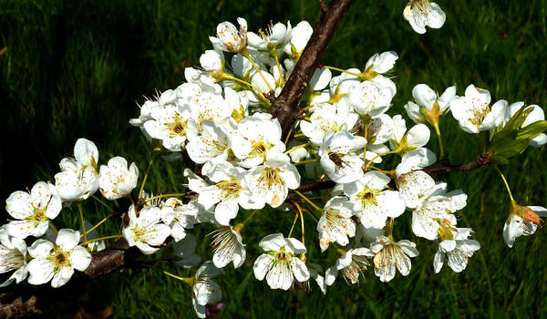 Photograph - White Plum Blossoms by Laura Greco