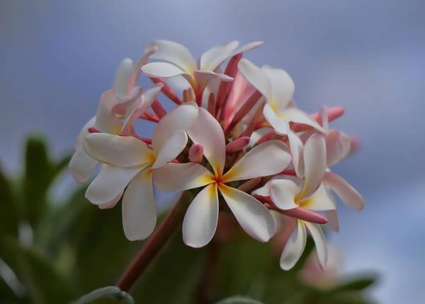 Photograph - White Plumeria by Pamela Walton