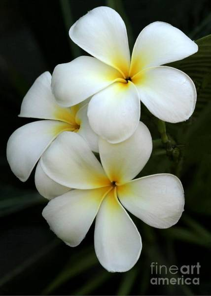 Photograph - White Plumeria by Sabrina L Ryan