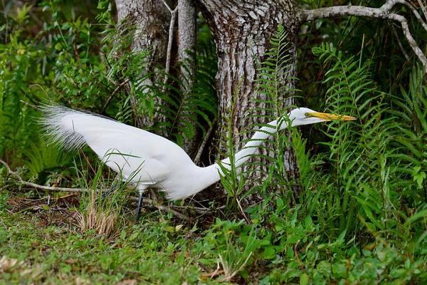 Photograph - White Plumes - Egret by KJ Swan