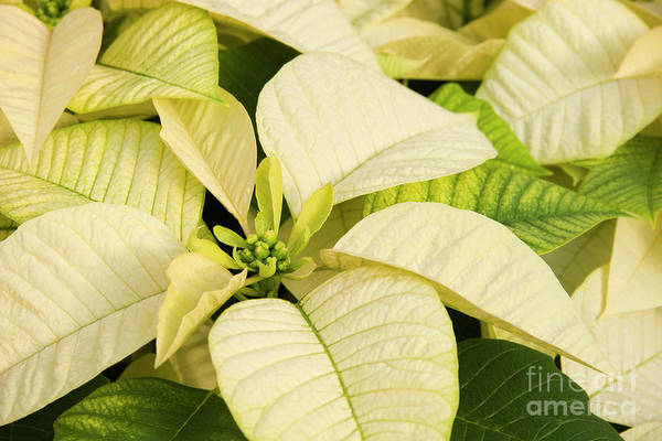 Photograph - White Poinsettias For Christmas by Jill Lang