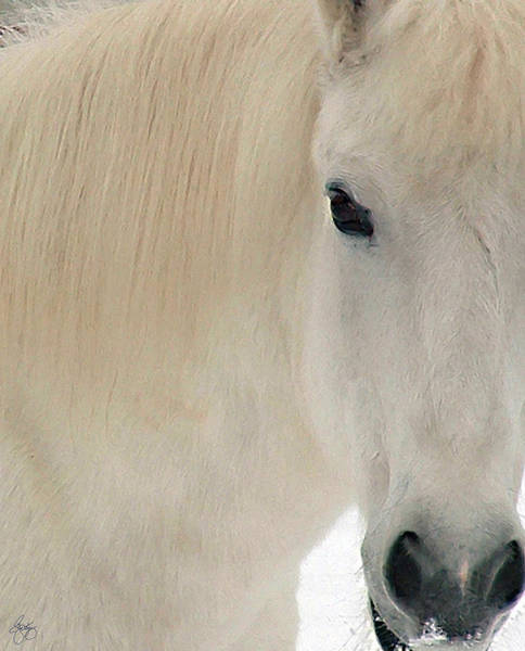 Photograph - White Pony In Profile by Wayne King