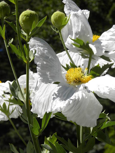 Photograph - White Poppies by Peggy McDonald
