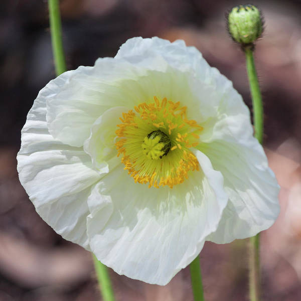 Wall Art - Photograph - White Poppy by Suzanne Gaff