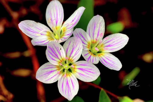 Photograph - Virginia Spring Beauty Flower by Meta Gatschenberger