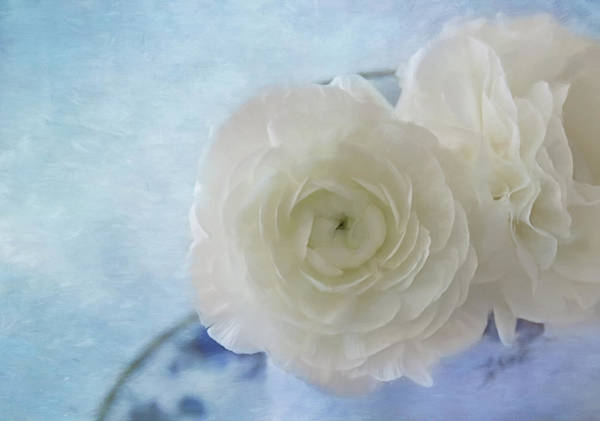 Photograph - White Ranunculus Beauty by Kim Hojnacki