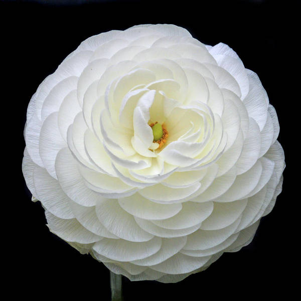 Wall Art - Photograph - White Ranunculus by Terence Davis