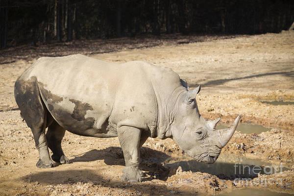 Photograph - White Rhino by Jemmy Archer