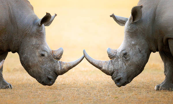 Wall Art - Photograph - White Rhinoceros  Head To Head by Johan Swanepoel