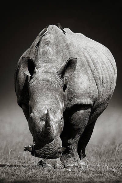 Front Wall Art - Photograph - White Rhinoceros  In Due-tone by Johan Swanepoel