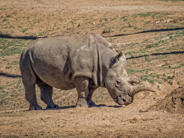 Photograph - White Rhinoceros by Patti Deters