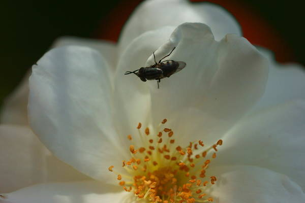 Photograph - White Rose 1 by Dimitry Papkov