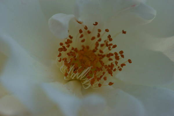 Photograph - White Rose 3 by Dimitry Papkov
