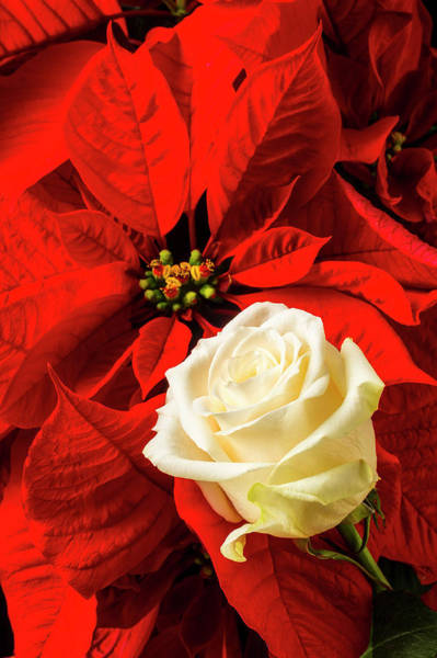 Foilage Photograph - White Rose And Poinsettia by Garry Gay