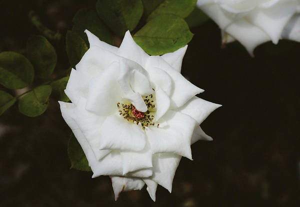 Photograph - White Rose by Andrea Anderegg
