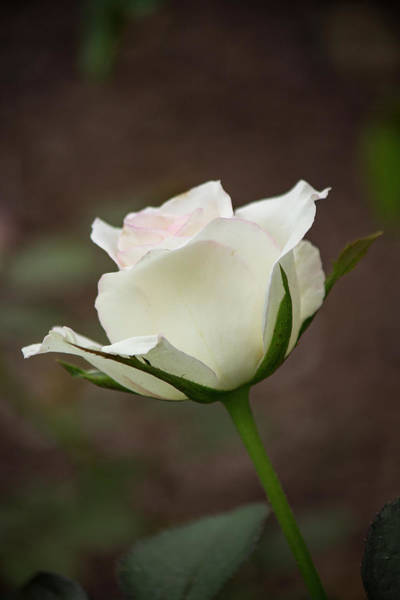 Photograph - White Rose Bud 2 by Teresa Wilson