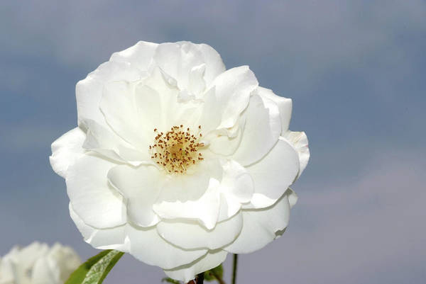 Photograph - White Rose by Cliff Norton