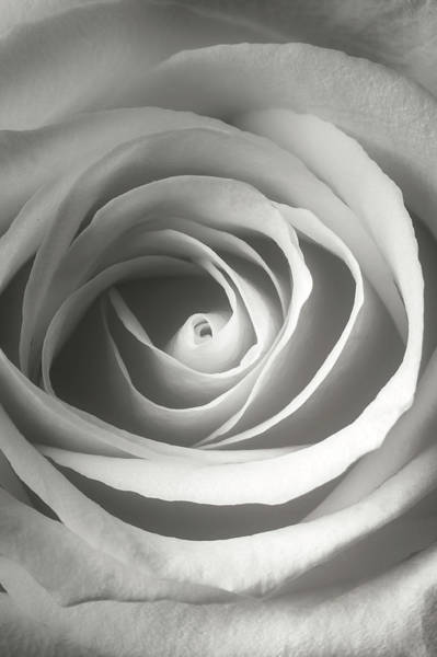 Wall Art - Photograph - White Rose Close Up by Garry Gay