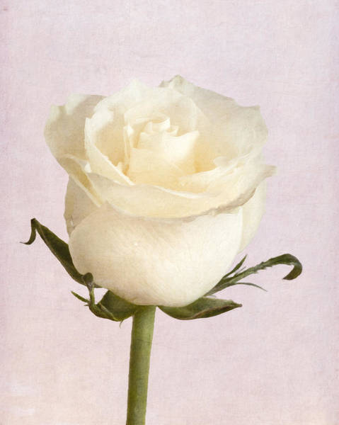 Photograph - White Rose by Garvin Hunter