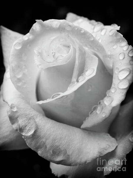 Ose Photograph - White Rose In Monochrome by Bob Zuber