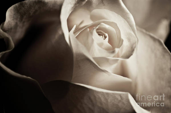 Wall Art - Photograph - White Rose In Sepia 2 by Micah May