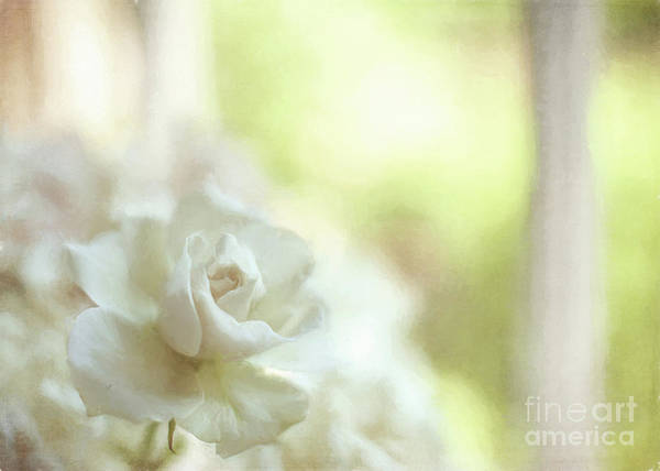 Photograph - White Rose by Michael James
