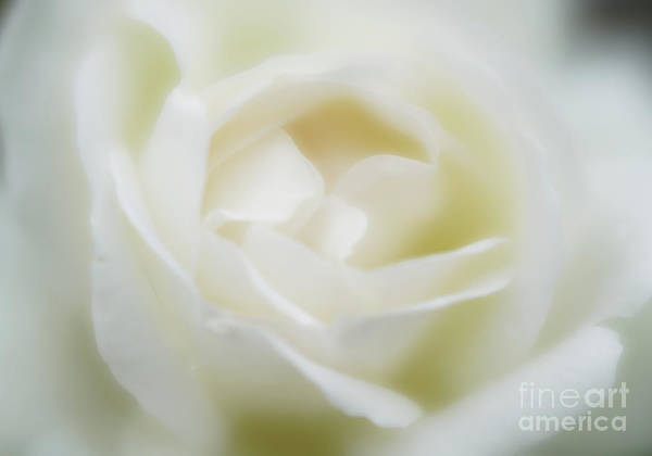 Romantic Flower Photograph - White Rose by DiFigiano Photography