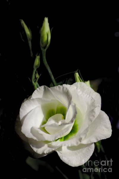 Photograph - White Rose On Black by Jeremy Hayden
