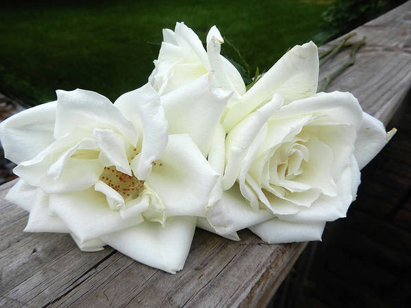 Photograph - White Rose Trio by Tina M Wenger