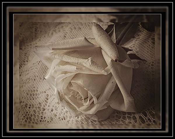 Photograph - White Rose, White Lace by Phyllis Meinke