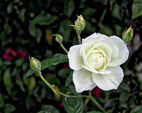 Photograph - White Rose With 4 Buds by Gene Parks